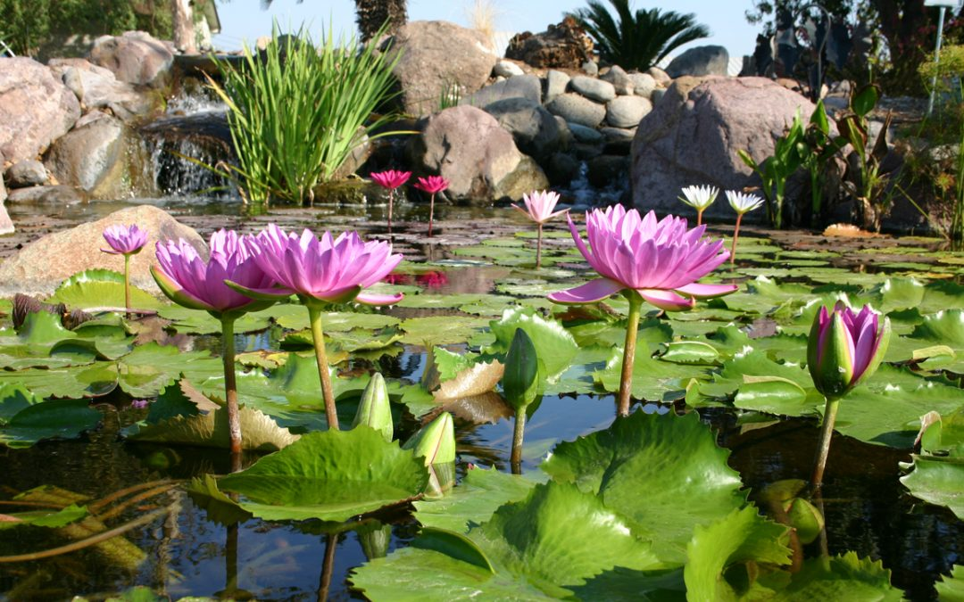 5 TIPS FOR PLANTING YOUR POND